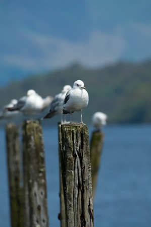 loch lomond: Seagulls sitting on the remains of an old wooden jetty at Loch Lomond, Scotland.