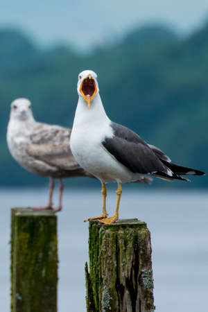A noisey seagull squawks from its perch. photo