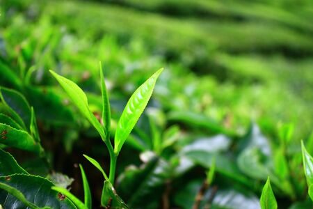 Young Tea Leaf Stock Photo