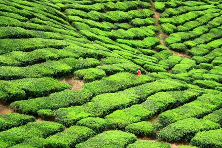 cameron highlands: Tea Farm Valley in Cameron Highlands
