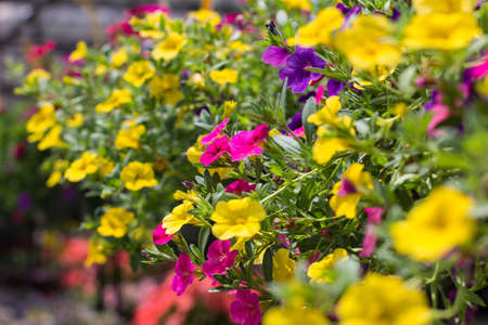 trailing: Pink, Yellow and Purple Calibrachoa (Million Bells) flowers.  Also known as Trailing Petunias. Stock Photo