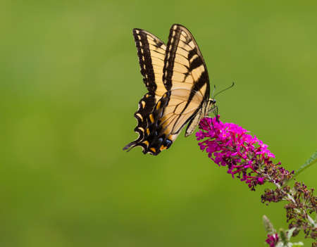 swallowtail: Swallowtail Butterfly on a Butterfly Bush Stock Photo
