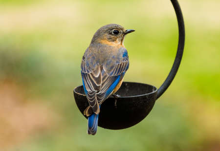 bluebird: Male Eastern Bluebird Stock Photo