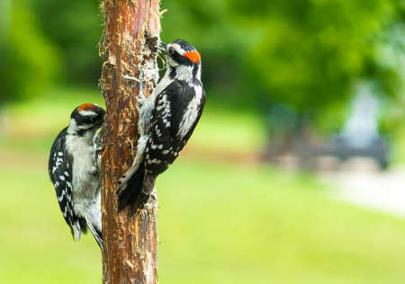 Two Downy Woodpeckers eating suet.