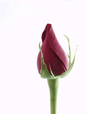 rose bud: Germoglio della Rosa Archivio Fotografico