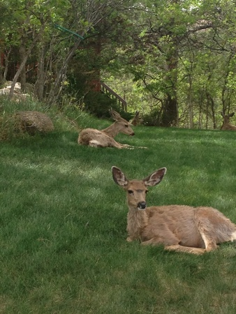 Deer laying in the side yard  Banco de Imagens