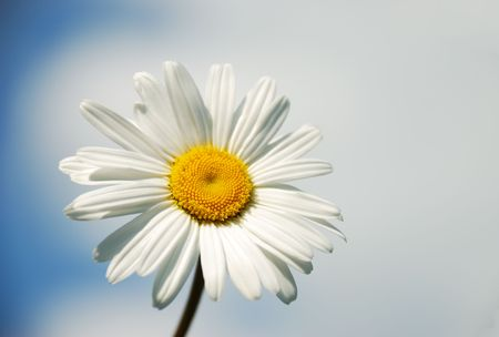 Close-up of the camomile on the blue sky background. Front view. photo