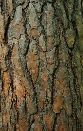 bark: Close-up of a fir tree bark