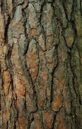 spar: Close-up van een fir boom schors