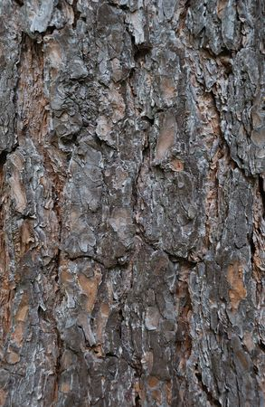 Close-up of a spruce bark Stock Photo - 7567584