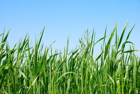 carex: Green grass