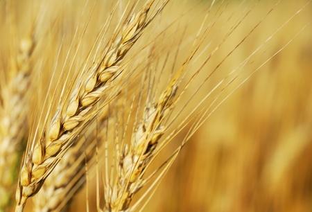 wheat crop: Orejas de centeno Foto de archivo