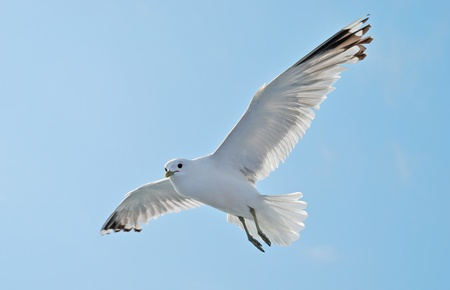 gulls: Seagull flying on a blue sky Stock Photo