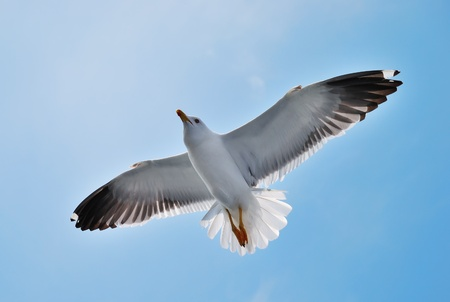 A seagull soaring in a blue sky photo