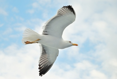gaviota: Una gaviota volando en un cielo azul Foto de archivo