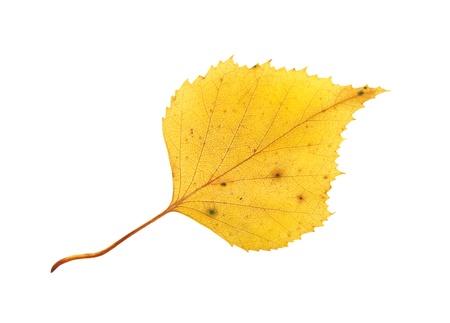 秋の黄色シラカバ葉が白い背景で隔離 写真素材