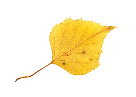 Autumn yellow birch leaf isolated on white background Stock Photo