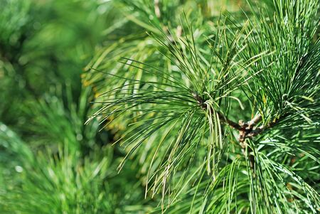 Close-up of fir tree branch Stock Photo