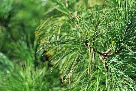 Close-up of fir tree branch photo