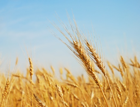 Rye ears in the field photo