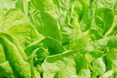 Lettuce Leaves photo