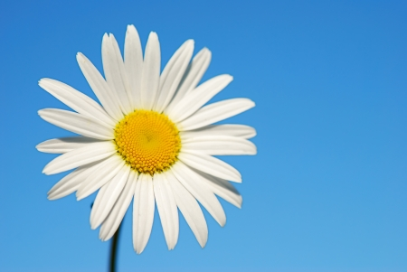 blue petals: Chamomile on the sky background