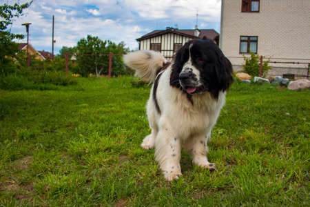 black and white newfoundland dog: Newfoundland dog in the backyard in summer