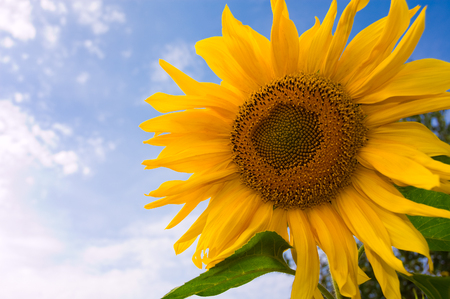 A large sunflower with sky in the background.