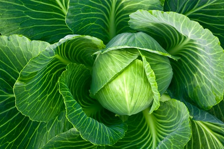 Head of fresh cabbage with a lot of leaves.