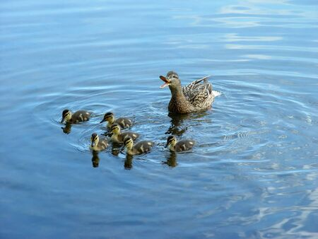 Mother duck with newborn duckling. Stock Photo
