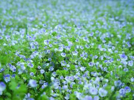 A field covered with blue flowers. Spring time. Shallow depth of field.