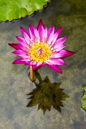 Water lily (Nymphaeaceae) in a shallow pond Stock Photo