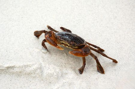Close up of a brown crab on the white sand.