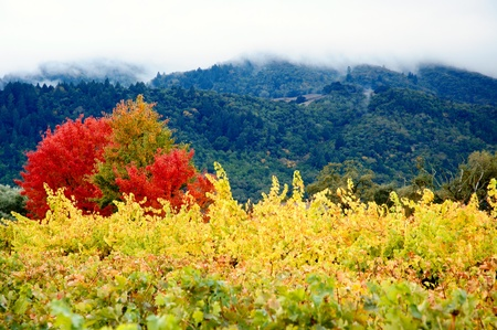 sonoma: Coloured Autumn Vineyards