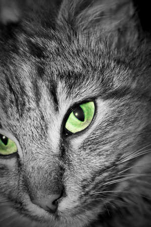 Close up portrait of cat green eye photo