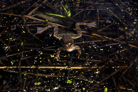 Young frog showed his head out of the water and looks into the camera lens