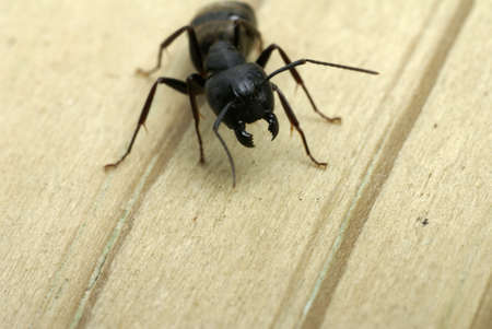 formicidae: Close-up of a carpenter ant ready to attack with its jaws