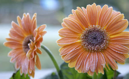 Orange gerbera daisies covered by the first frost of fall.