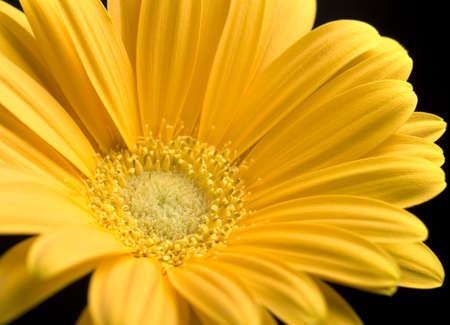 CLose up of bright yellow Gerbera Daisy