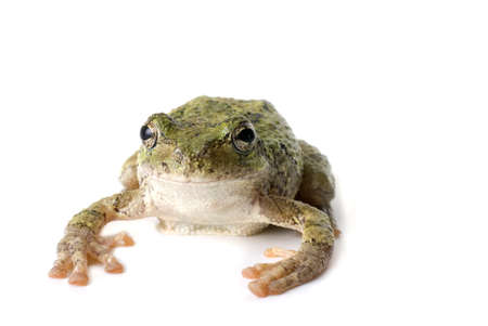 Green, staring tree frog isolated on white Stock Photo - 7847301