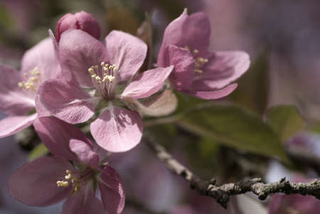 crabapple: Pink crabapple blossoms in spring shallow depth of field Stock Photo