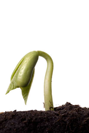 A green bean seedling emerging from the soil Stock Photo