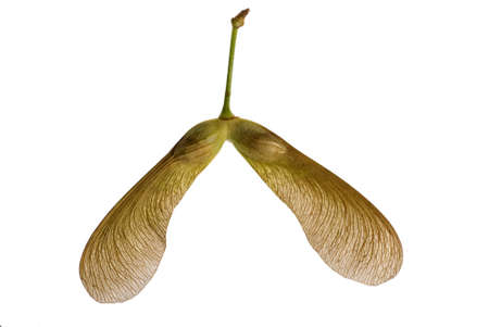 Two winged maple seeds attached to the stem Stock Photo