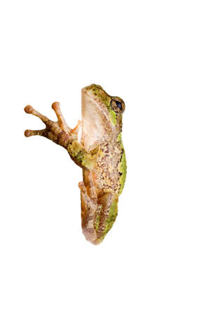 A green tree frog clinging to a corner. On a white background so you can Insert your own edge. Stock Photo - 8885468