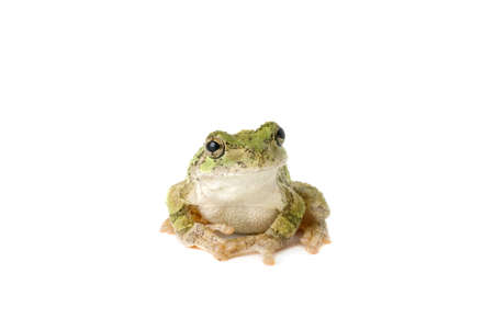 A green tree frog pensively posing for a picture. Stock Photo - 8885467