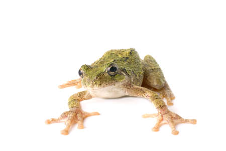 A green tree frog ready to jump. White background. photo