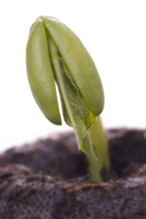 Bean seedling just emerging from the seed. Macro shot. photo