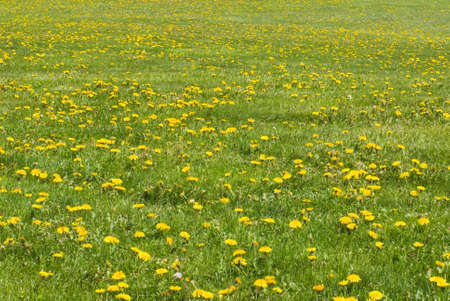A field of green grass littered with yellow dandelions Stock Photo - 8885477