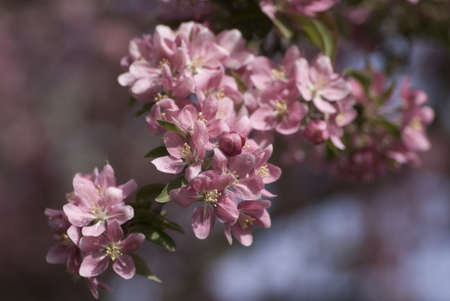 crabapple: A crabapple branch covered with pink flowers Stock Photo