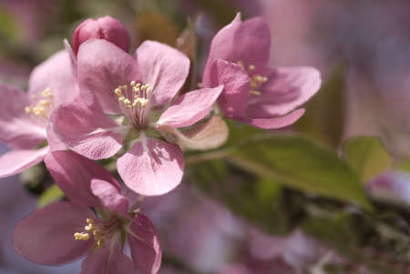 A cluster of pink crabapple blooms with shallow depth of field Stock Photo - 9040518